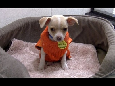 A season of giving, a season of thanks. sweaters for Chihuahua puppies!