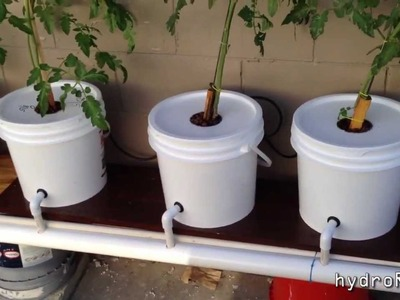 Cheap DIY Bato.Dutch Bucket Hydroponic System