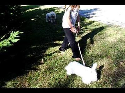 German angora going for a walk