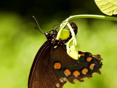 Pipevine Swallowtail Butterfly laying eggs.