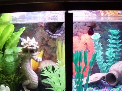 Awesome,Two Betta fish trained to jump for food in split tank.Quick video,DIY Tutorial coming soon