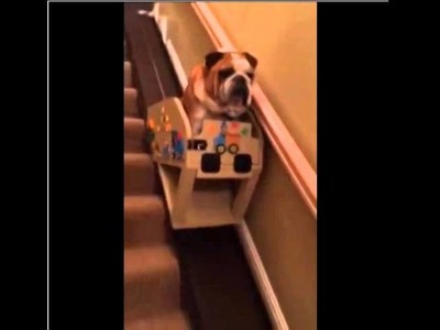 Bulldog,Hank the Bulldog and His Custom Stair Lift Bulldog,Chanel Brittany