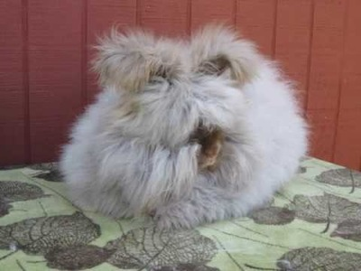 Blue Pine Rabbits English Angora and Fuzzy Lops