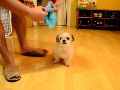 How to dress your Shih Tzu dog