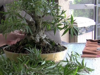 How to Bonsai - Make a bonsai part ii Ficus development
