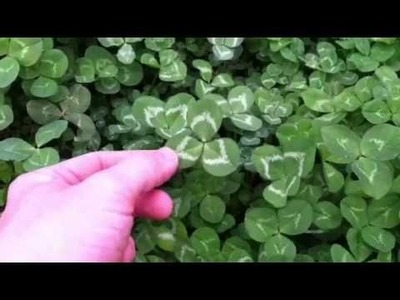 How to Find a 4-Leaf Clover