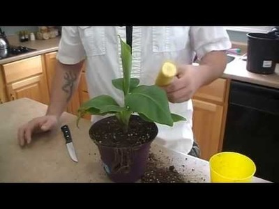 How to grow a banana tree from seed