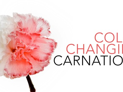 Color Changing Carnations - Sick Science! #020