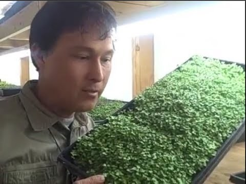 How to Grow a MicroGreens Vegetable Garden Year Round Inside Your Home