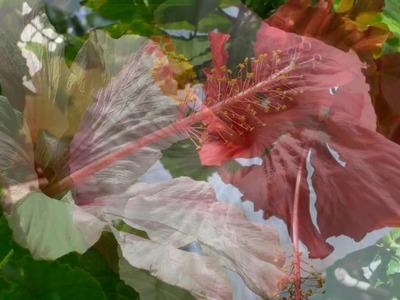 Hibiscus rosa sinensis . . la mia passione !
