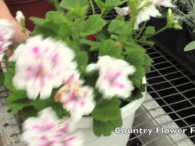How to Deadhead Geraniums