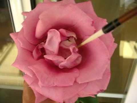 Paint rose 01