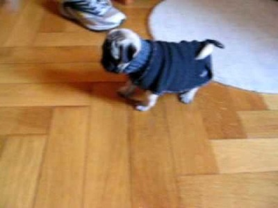 Pug puppy and his sweater