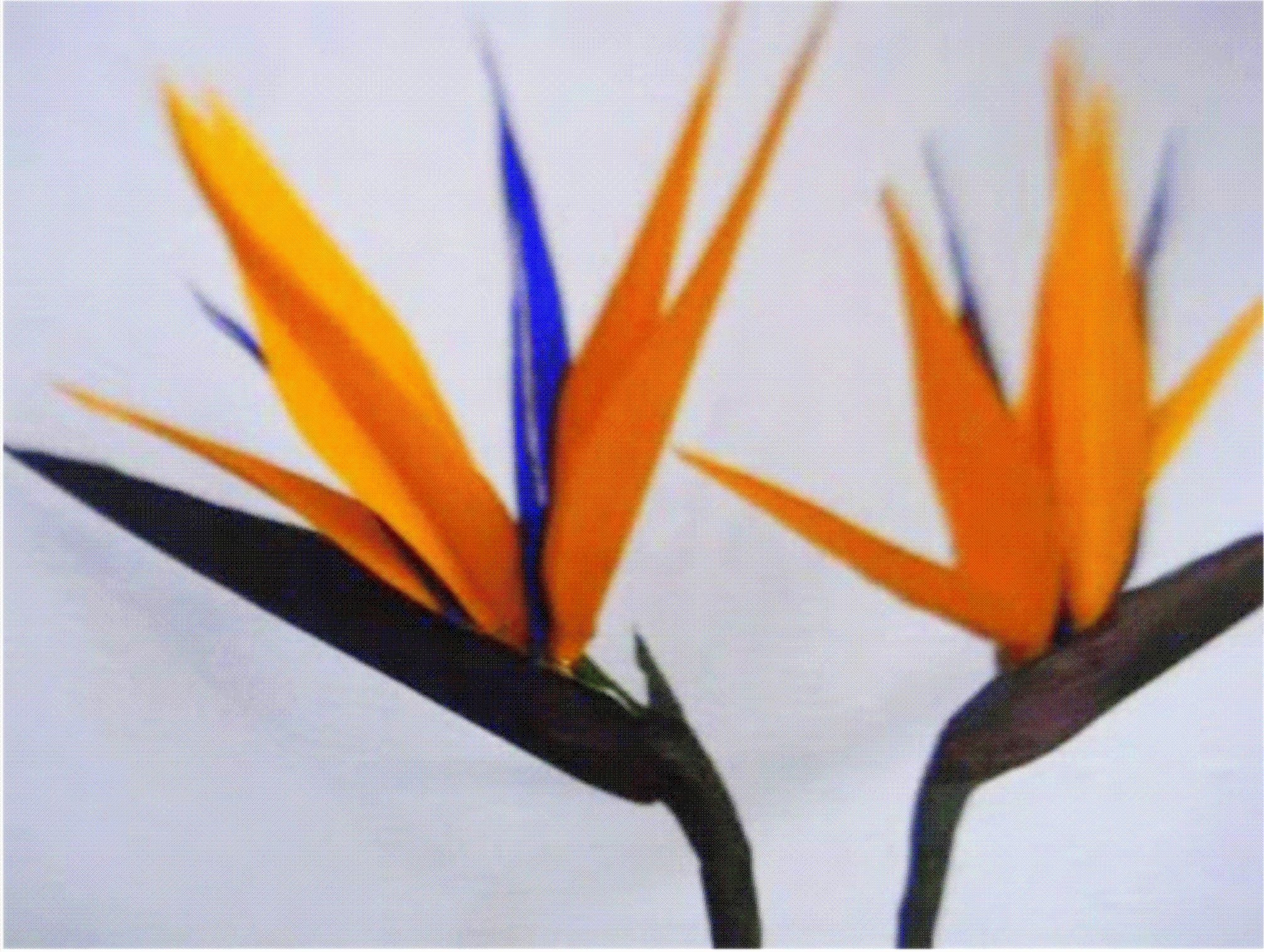 Paper Flower - Bird Of Paradise