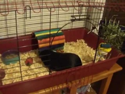 How To Clean  A Store Bought Guinea Pig Cage