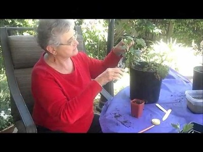 How to Grow Chrysanthemums: Making Cuttings and Transferring to Bigger Pots