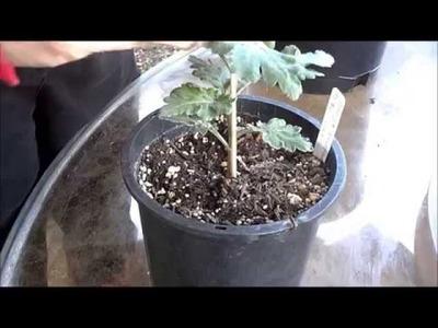 How to Grow Chrysanthemums -- Pinching
