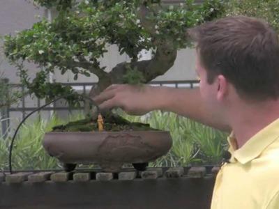 How To Bonsai - Sacrifice Branch Development