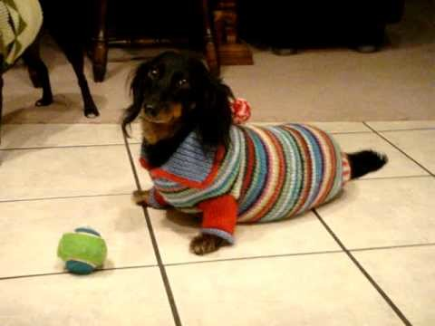 Kitty the (walrus) dachshund hates her sweater