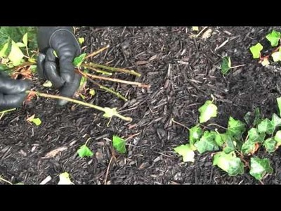 Prune this: How to prune Common English Ivy and root cuttings