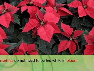 How to Care For Poinsettias - Armstrong Garden Center