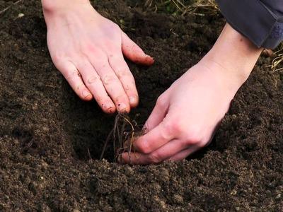 How to plant bareroot perennials with Van Meuwen
