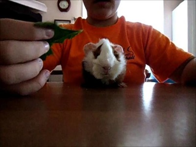 How to get your Guinea Pig to Trust you!!!