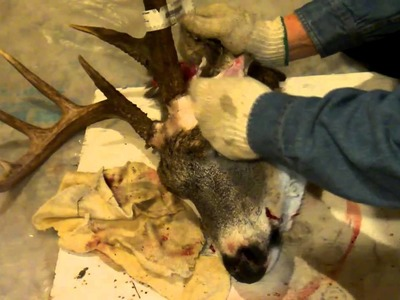 Cutting Big Buck Antlers from deer head,plus link to Plaque mounting in Description