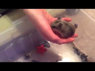How to care.handle a Chinese dwarf hamster