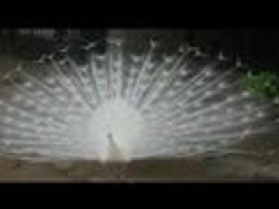 Dancing White Peacock
