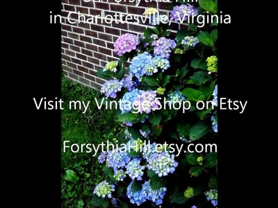 DIY Gardening How to Deadhead a Hydrangea Shrub, Pruning off last year old flowers