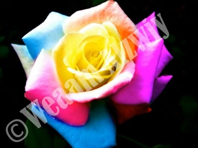 How to make a rainbow rose online