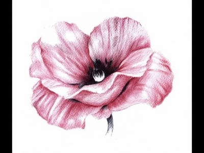 Poppy drawn with ballpoint pens by Paul Alexander Thornton