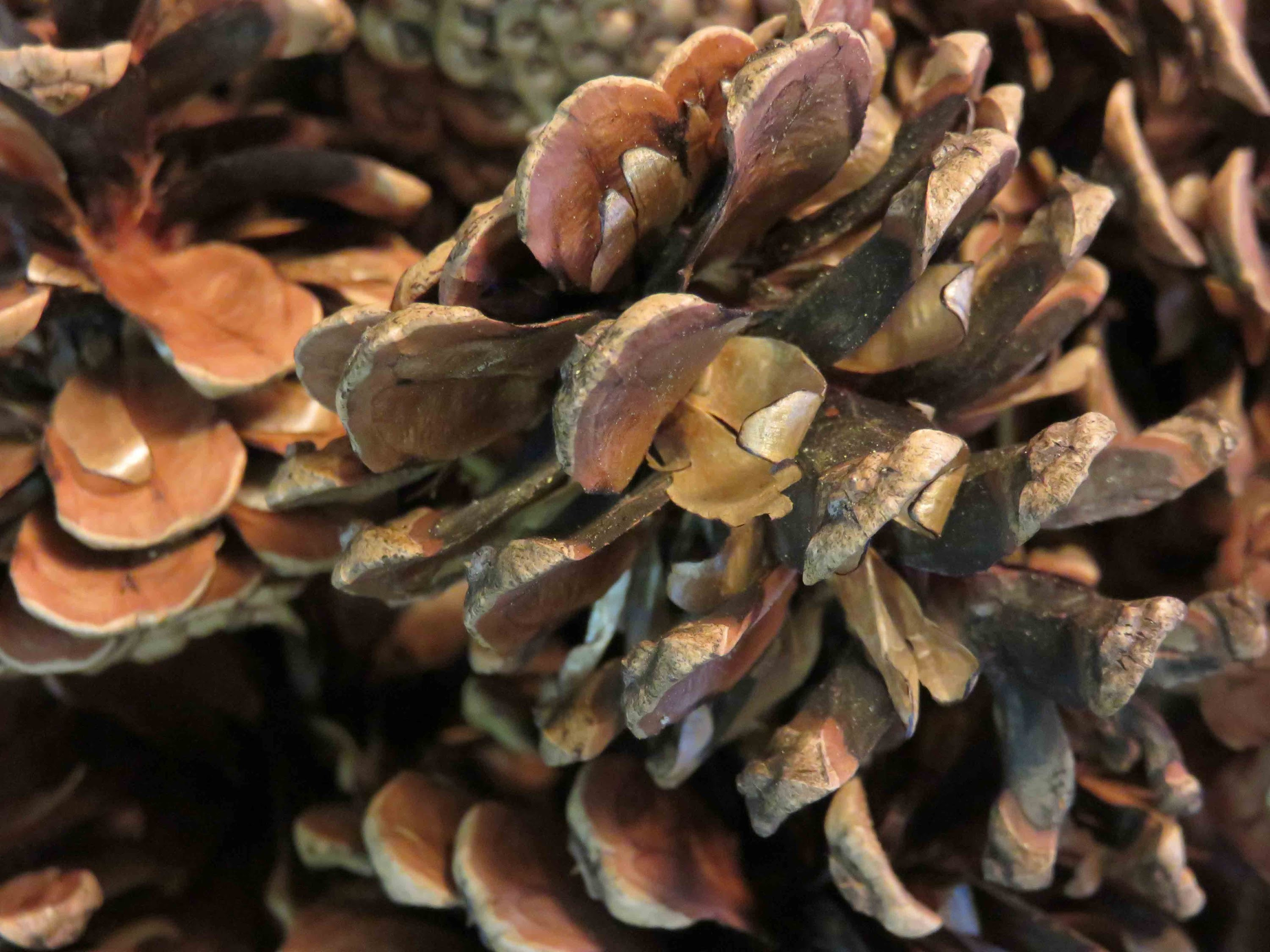 Tutorial How to Sterilize Pine Cones for Crafting