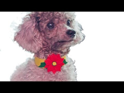 How To Make A Fabulous No Sew Poinsettia Dog Collar - DIY Crafts Tutorial - Guidecentral