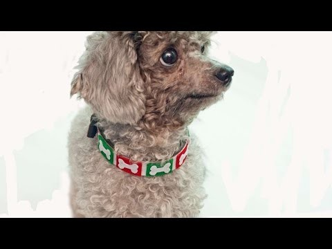 How To Make A Festive Bone Dog Collar - DIY Crafts Tutorial - Guidecentral