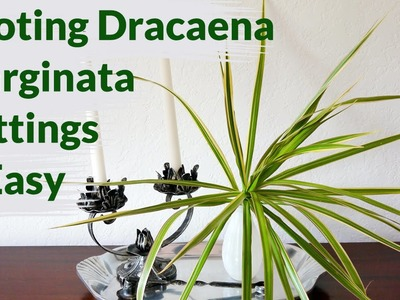Dracaena Marginata Cuttings Root Easily In Water: Here's How To Keep Them Healthy