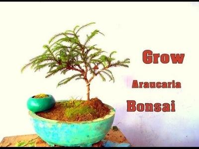 How to Grow Araucaria Bonsai September 2016 (Hindi)