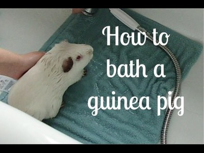 How To Bathe Your Guinea Pig