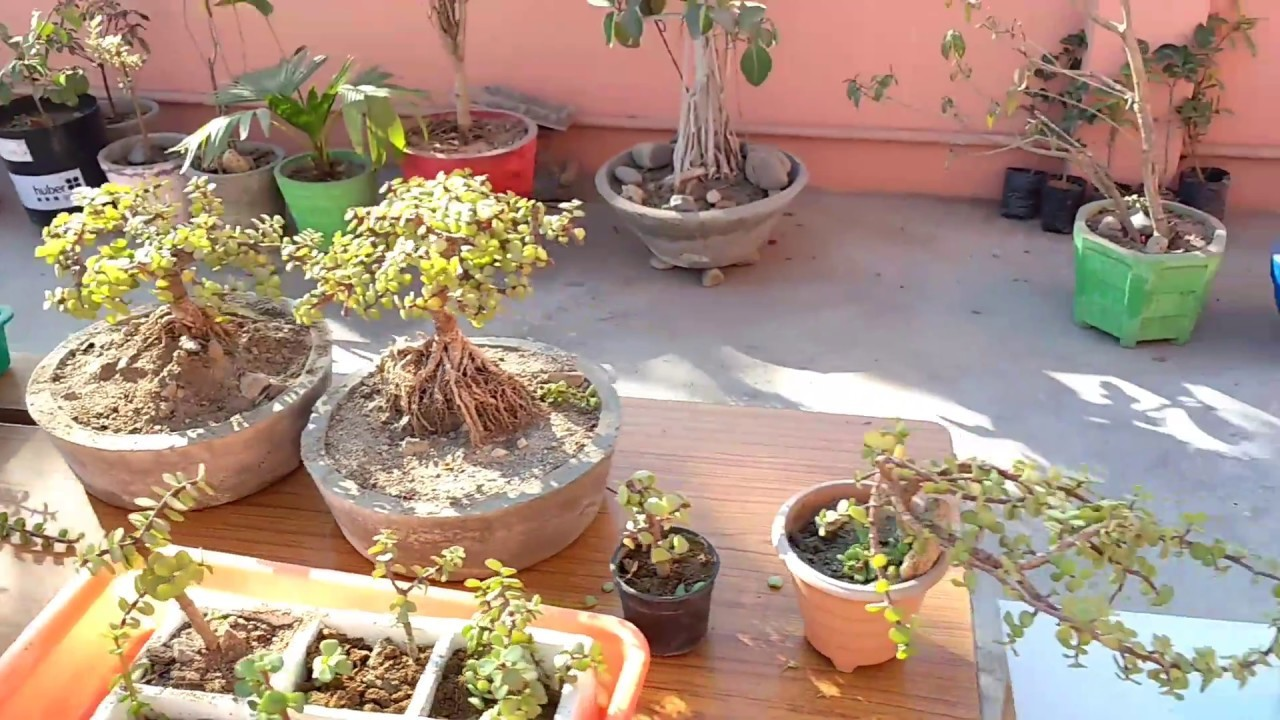 How to make Bonsai with jade plant   different jade bonsai