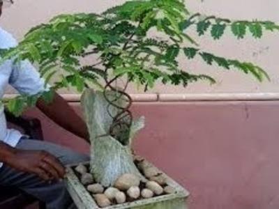 how to make bonsai tree at home