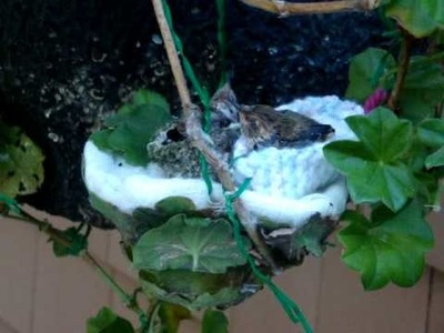 Allen's hummingbird nesting in baby's bootie Day 17 - June 28, 2.wmv