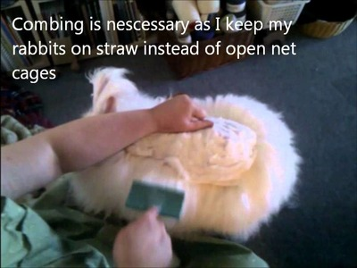 Shearing angora rabbit one lock at the time