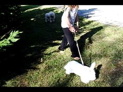 German angora going for a walk