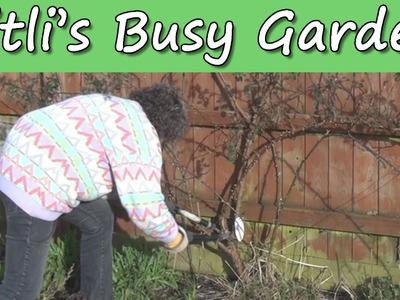 Pruning Roses - Titli's Busy Garden 2014 Week 7