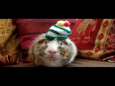 Rory the guinea pig shows off his new knitted hats!!