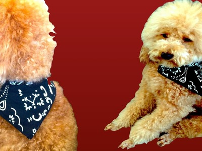 DOG PIRATE SCARF- EASY BANDANA NO SEW - DIY Dog Craft by Cooking For Dogs
