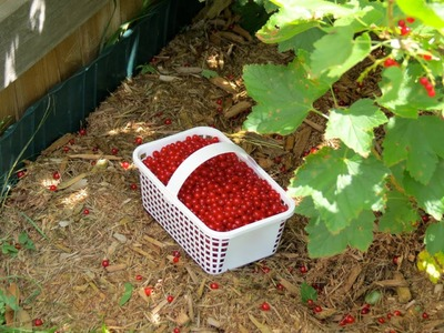 How to Make Red Currant Jelly