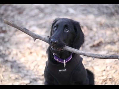 Artemis the Flat-coated Retriever - A video scrapbook