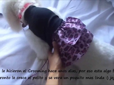 DIY How to make a Doggie Dress. Coton de tulear